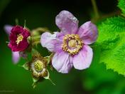 Wild Roses..