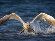 Gannet Lift Off
