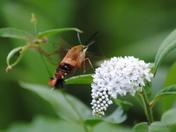 Hummingbird Moth, Hemaris thysbe