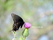 swallowtail papilio
