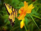 Summertime Swallowtail