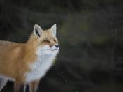 5b. Red fox