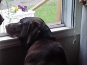Chocolate Lab Has The Rainy Day Blues