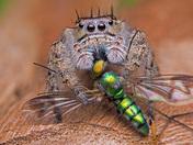 4a. Phidippus putnami jumping spider