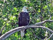 Adult Male Bald Eagle