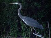 Blue Heron on Slang Pond