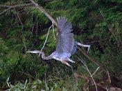 Blue Heron in flight #1