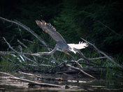 Blue Heron in flight #2