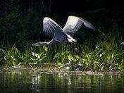 Blue Heron in flight #3