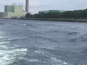 Dolphins in the Cape Cod Canal