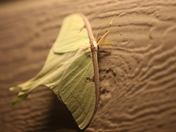 Luna Moth in the Northland