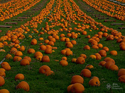 Rows of orange