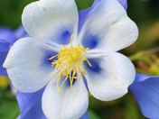 columbine close up