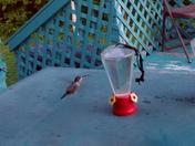 hummingbirds on my deck...