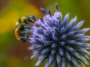 Bumble Bee....