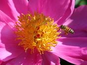 Peony and honeybee