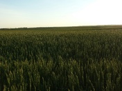 Early crop 2016