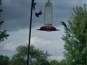 Hummingbirds before the storm