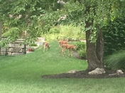 TRIPLET fawns seen in housing addition