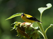 Gold Finch