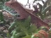 Lizard?