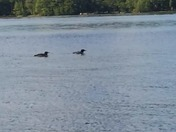 Loons with 7 week old baby on Conway Lake