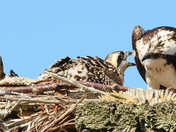 Osprey dinner time~
