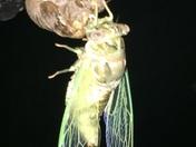 Cicada molting