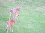 Deer in Blue Springs