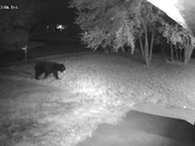 Black bear in Milford