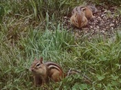 Chipmunks getting ready for the cold winter