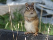 "Chipmunk "" hey my cheeks are full and my stomach too"""