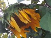 Depressed Sunflowers 😉