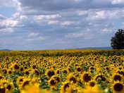 Lesher Poultry Farm - Sunflower blooms 3 September