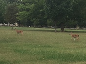 pair of fawns at Prairie Grove Battlefield Park