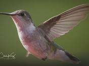 Hummingbird Close Up 1