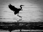Heron At Dawn 1
