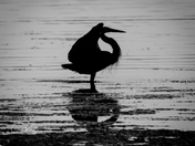 Heron at Dawn 2