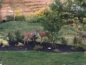Deer drinking fresh water from the bird bath in havre de grace