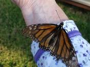 Monarch butterfly in our backyard this morning!!
