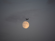 Lonely moon and lonely Canada goose