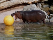 Hippo playing water polo
