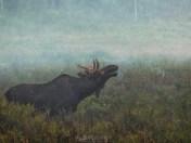 Bull Moose Flehmen