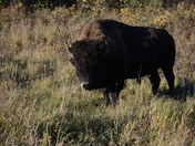Bison in Riding Mountain National Park