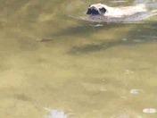 Tunie the pug