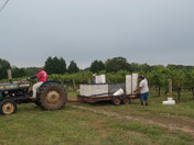 Picking Cabernet Sauvignon