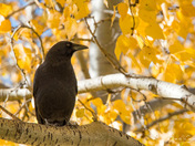 Autumn Crow