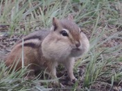 Chipmunk getting ready for a long winter !!!!!