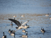 Great Blue heron bravely flying into geese lake