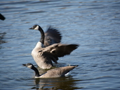Happy Canada geese couples
